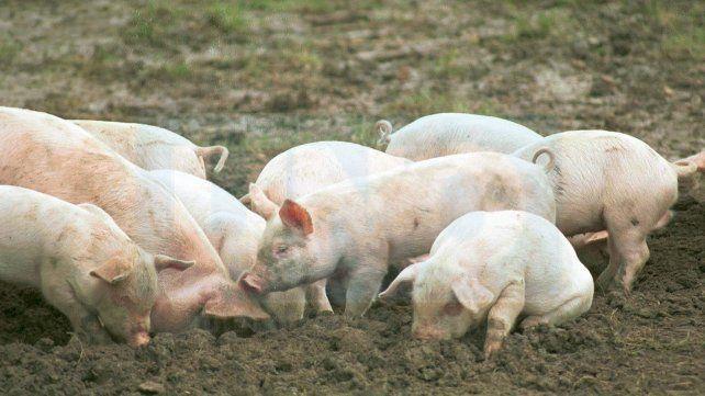 El objetivo es poder abastecer el mercado de China, tras quedar afectado por la gripe porcina africana. Capper analizan su impacto.