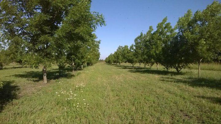 Inversión a largo plazo. Un árbol demora entre cinco y siete años en dar frutos de calidad para poder comercializarlos.