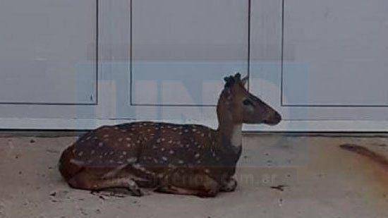 Un vecino encontró un ciervo herido en la puerta de su casa