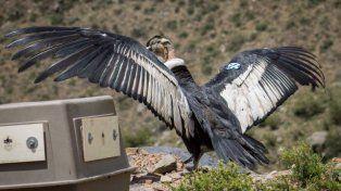 Liberación. Un cóndor se familiariza con las montañas, en el retorno a su hábitat.