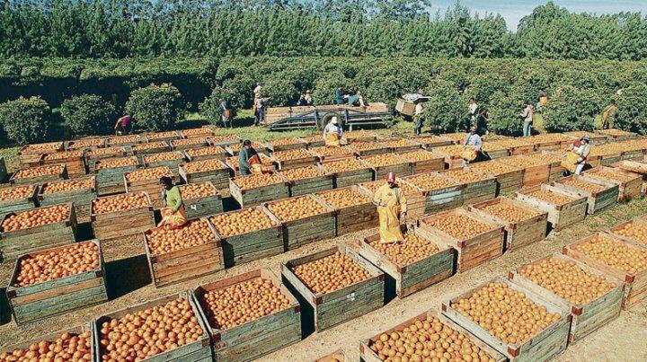 Uruguay ya exporta naranjas a Estados Unidos.