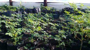 Fumigaron glifosato en un campo vecino y arruinaron una producción de moringa