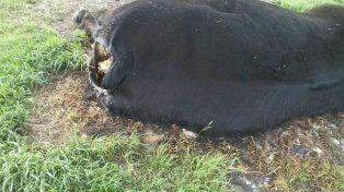 Misterio en Costa Grande: Aparecen vacas mutiladas y se vacían tanques australianos