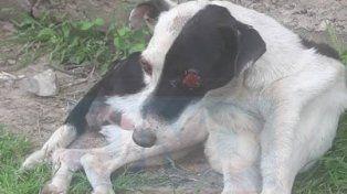 Torturada y ciega. A la perra le extrajeron los ojos y le provocaron varios cortes profundos.