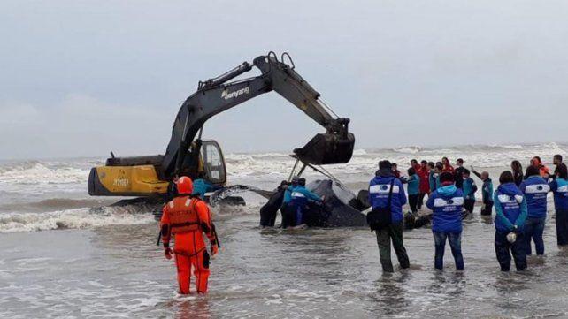 Denodados esfuerzos para salvar una ballena encallada en Mar del Tuyú