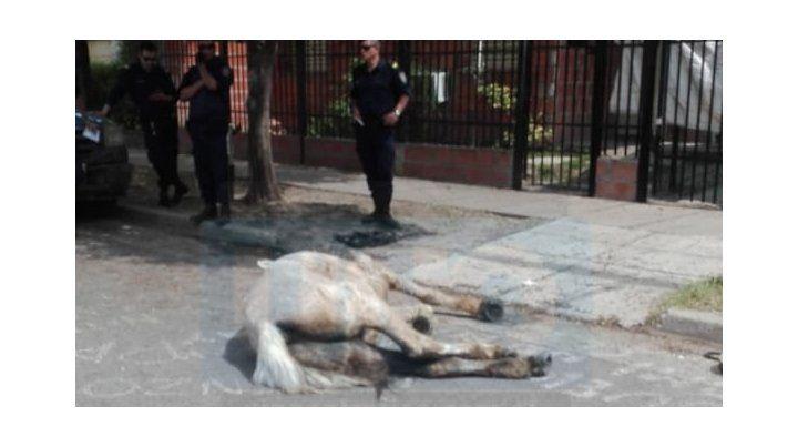 Descompuesto. El animal de 10 años cayó pesadamente muy afectado por el maltrato.