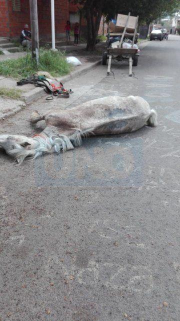 Muy pesado. El animal no pudo trasladar el carro usado para cirujear.