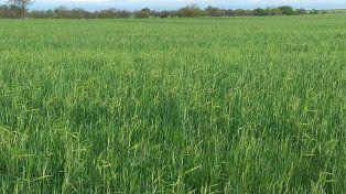 Rendimiento. Hay buenas condiciones de cultivo para el trigo y la trilla iniciará en noviembre.