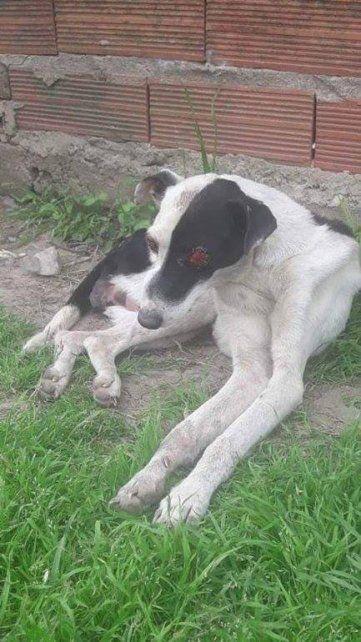Crueldad animal: murió la perra rescatada a la que le extirparon los ojos