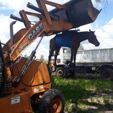 Bomberos Voluntarios rescataron yegua preñada abandonada