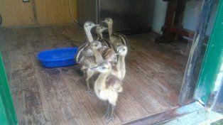 Crecen saludables siete charabones rescatados de traficantes de fauna