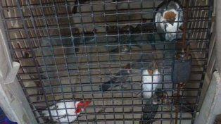 Trasladaban gran cantidad de aves en la baulera de un colectivo: 85 pájaros ya estaban muertos
