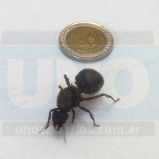 Encontró una hormiga gigante en Bajada Grande