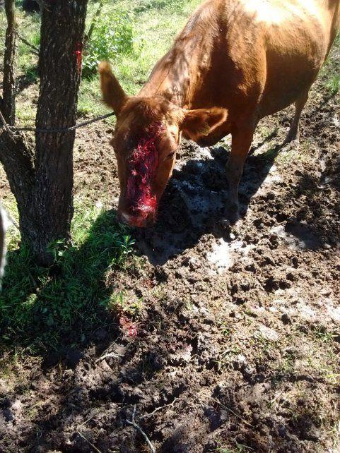 Malherida. La vaca fue encontrada con un balazo que no alcanzó a matarla.