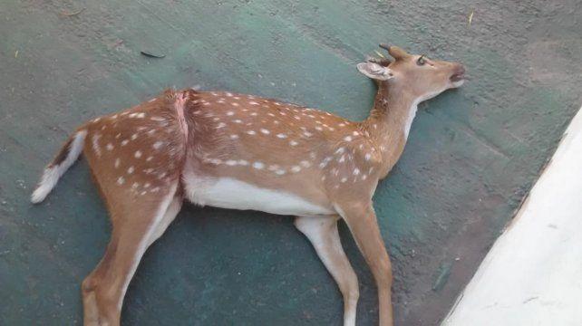 Un ciervo murió tras enredarse entre un alambrado