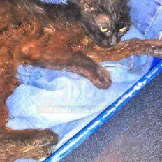 Muy descompuesta. La gatita se está recuperando en una veterinaria de Paraná.