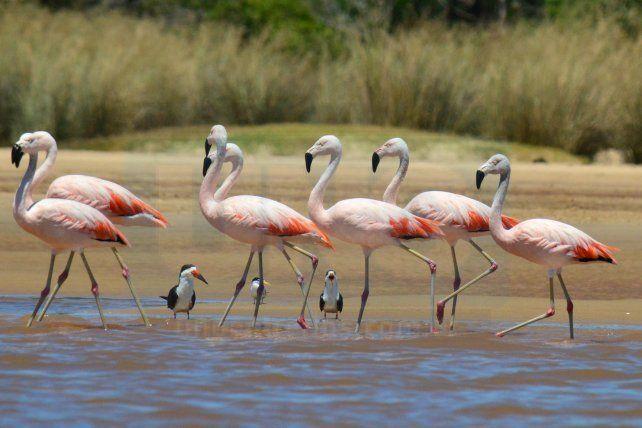 Flamencos en el río Uruguay, una rareza de suma belleza