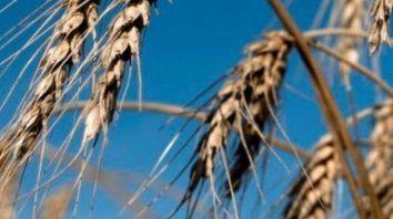 tras una cosecha record de trigo, las lluvias podrian afectar los rindes de la soja