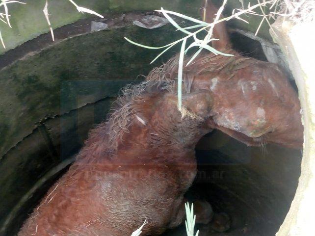 Asustado. El pequeño equino quedó trabado dentro del pozo.