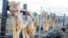 Imparable. La depredación por parte de los cazadores termina con pumas, zorros y aves rapaces.
