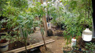 Encontraron un vivero con plantas marihuana