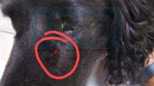Dolorida y sedada. La perrita fue asistida por una veterinaria de Feliciano.
