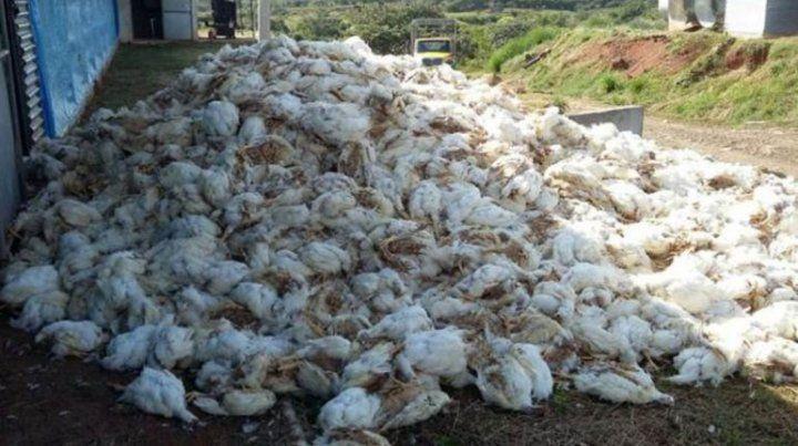Murieron 4.000 pollos en una empresa avícola entrerriana