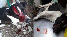 Violada y macheteada. En Paraná se denunció el caso de la perrita que está grave.