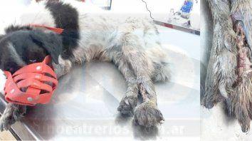 Perro chocado. Piden ayuda para el animal que le deben amputar la pata destrozada.