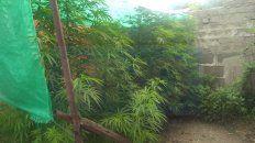 Arbustos. Las plantas de marihuana tenían más de dos metros de altura.