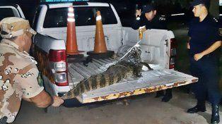 Ladraban los perros y encontraron un yacaré de dos metros de largo