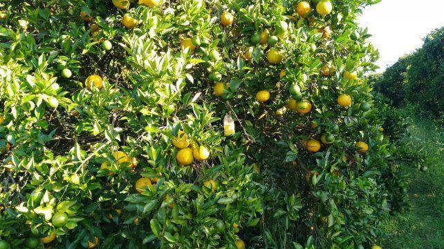 Naranjas y verdes. En las plantaciones se pueden observar los cítricos con un año y medio en planta