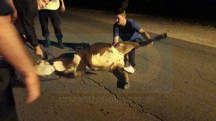 Se abrió la puerta de la jaula, un ternero cayó y escapó por avenida Uranga