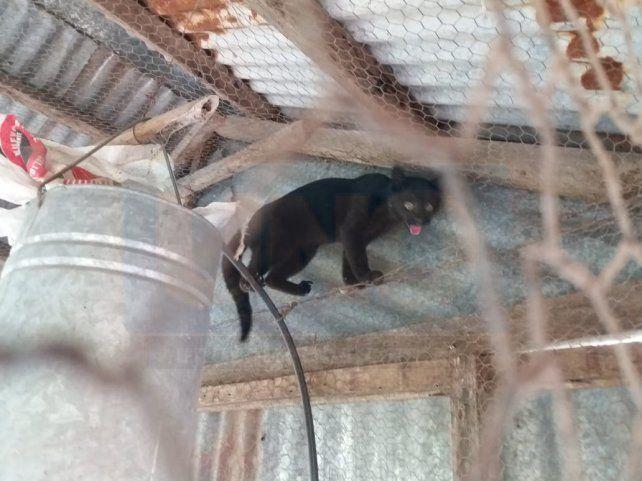 Un gato montés puso en vilo a una escuela