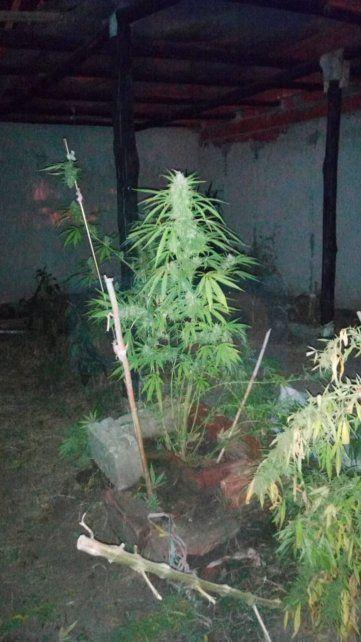 Encontraron un vivero con 800 gajos con cogollos de marihuana