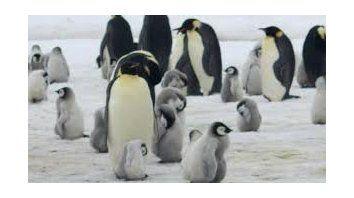la catastrofe del pingüino emperador: murieron miles de crias en la antartida