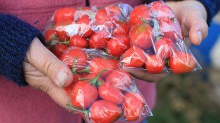 Tomates agroecológicos producidos en La Picada.