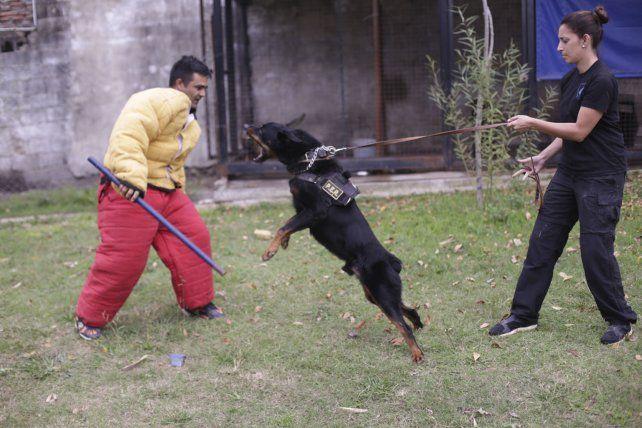 Equilibrio. El rottweiler atacó y, tras la orden, se calmó de inmediato