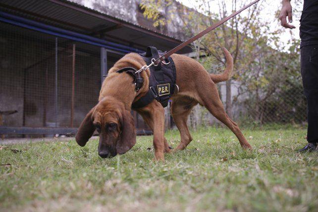 Equilibrio. El rottweiler atacó y, tras la orden, se calmó de inmediato. bloodhound. Raza para rastreo.