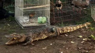 Personal de Abigeato secuestró 70 aves y un yacaré disecado