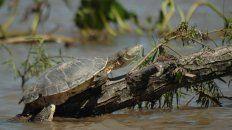 Una tortuga en Bajada Grande.