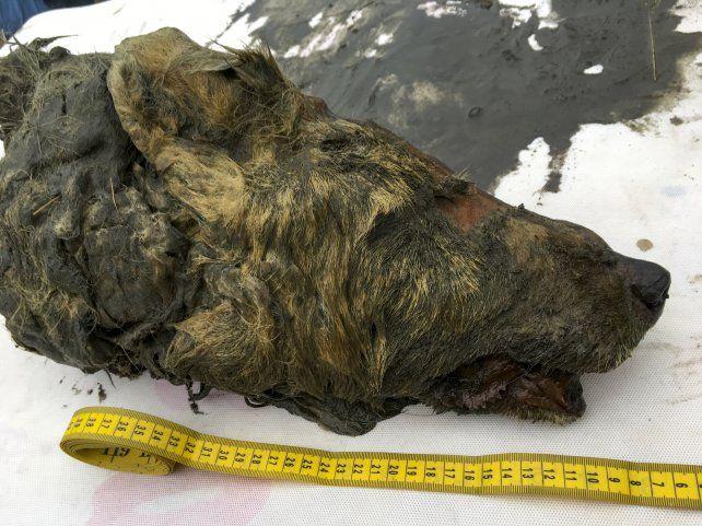 No es la primera vez que el deshielo del permafrost permite este tipo de hallazgos