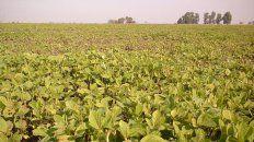 finaliza la cosecha de soja, con buena calidad en entre rios