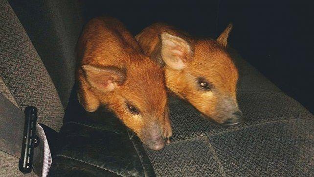 Mataron a un carpincho y llevaban dos crías de jabalí