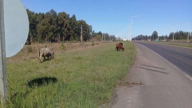 Animales sueltos, una problemática latente en Concordia