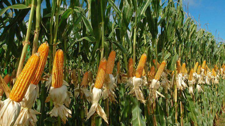 Reducción de área. La opción por el maíz fue en detrimento de la soja en los sembradíos entrerrianos.