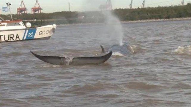 Una ballena remontó el río Paraná hasta Escobar, pero no sobrevivió