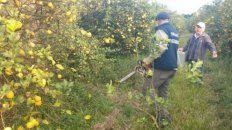 Senasa destruyó 4.200 plantas cítricas