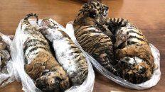 detuvieron a un traficante de animales con siete cachorros de tigre congelados