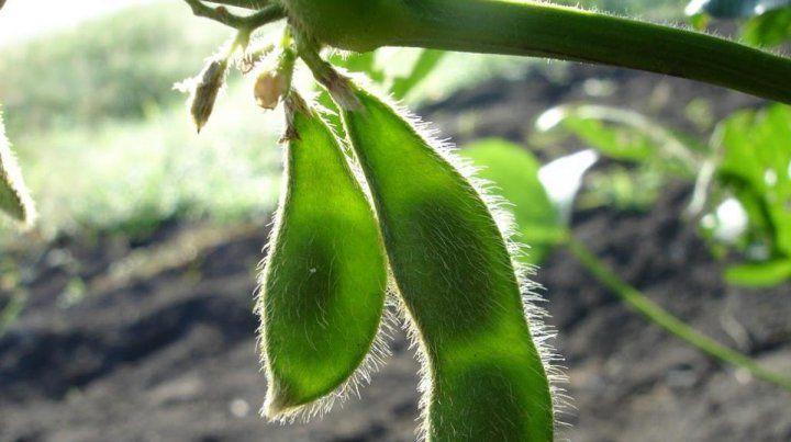 Monsanto. La firma retiró del proceso regulatorio una soja con tecnología para mejorar el control de malezas.